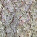 На коре хорошо видны отверстия входа вредителя. Вокруг них виднеется буровая мука