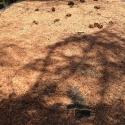 В течении нескольких недель ель теряет все иголки