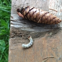 Взрослая личинка короеда (длина около 5см)