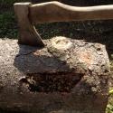 Взрослая личинка короеда в домике без крыши